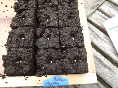 And a closer look at the seeds for the yellow pepper plants.