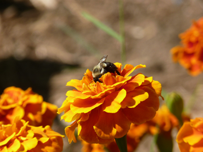 Bumblebee on Marigold.  I'm also happy to report that in the last 5 years, I've seen the population of honeybees increase significantly.