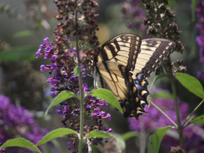 The buddelia bushes attract everything with wings.  It is living art.