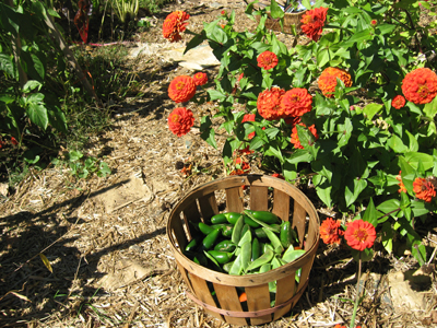 A basket of beans next to a heavily laden zinnia.