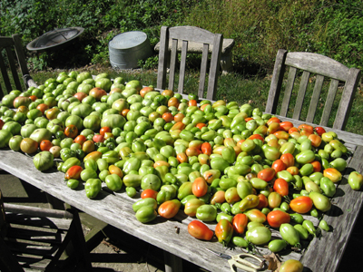 Harvested green, because frost threatened that night.  These were wrapped in newspaper to ripen, and made into sauce.