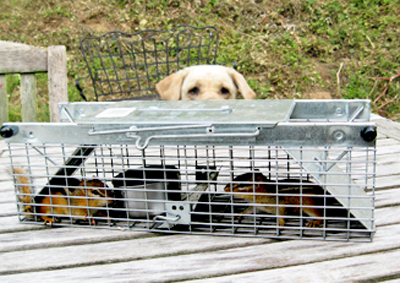 I spent the summer trapping and releasing (miles away) 37 chipmunks.  MacKenzie was interested in this process.