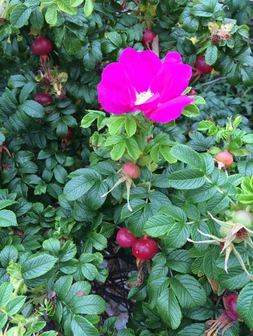 vh_beforeandafter_roses_hips